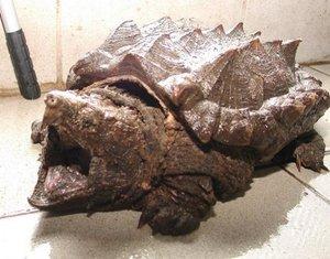 Geierschildkröte.jpg
