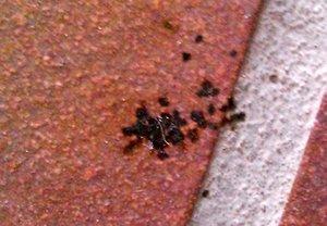 Spinnenkot Von Welcher Spinne