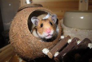 hamster-1803423.jpg