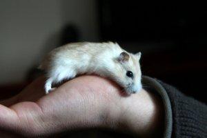 hamster-245225.jpg