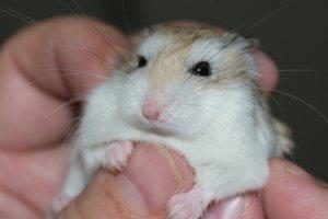 hamster-577257 (1).jpg