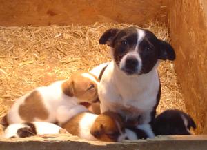 Die Wahl des richtigen Hundezüchters ist wichtig.   Welpen vom Vermehrer sind meist krank und schlecht sozialisiert. (Bild: Nienor)