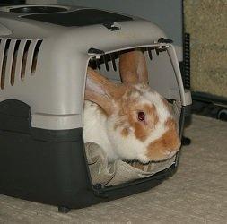Im Gehege können Kaninchen die Transportbox kennenlernen.   (Bild: zitroneneistee)