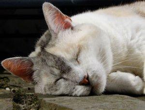 Kastrierte Katzen leben länger, denn sie streunen weniger,   sind weniger gesundheitlichen Gefahren ausgesetzt und leben entspannter.   Foto: Leo_65 /pixabay