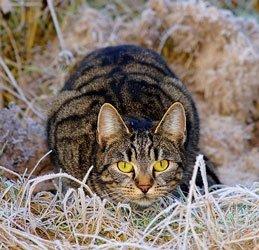 Kastrierte Katzen fangen nicht selten mehr Mäuse als unkastrierte,   weil sie gesünder sind und weniger Zeit damit verbringen,   zu streunen und Partner zu suchen. Foto: Kapa65 /pixabay