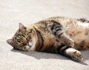 Wenn kastrierte Katzen dick werden, liegt das vor allem an einer falschen Fütterung   und zu wenig Anreizen, sich zu bewegen. Foto: simone_ph /pixabay