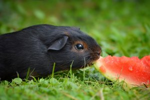 guinea-pig-1055368.jpg