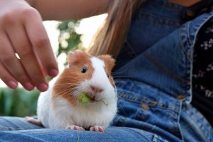 guinea-pig-1723957_1920.jpg