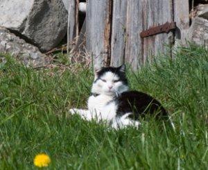 Für eine Katze ist eine entlaufene Farbratte eine leichte Beute. (Bild: Nienor)