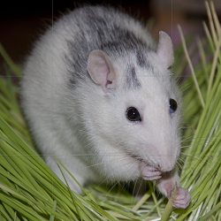 Ratten haben drinnen, in ihrem Auslauf mehr Spaß als draußen. (Bild: Nienor)