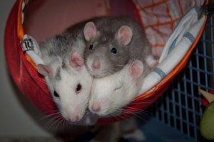 Ratten brauchen Artgenossen und sollten mindestens zu dritt gehalten werden. (Bild: Nienor)