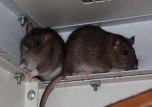 Halbwilde Ratten sind nicht gesünder als Farbratten, allerdings scheuer, nagewütiger und ausbruchsfreudiger.   (Bild: Nagervermittlung Stuttgart und Umgebung)