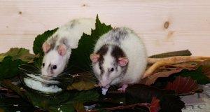 rat-1710116.jpg