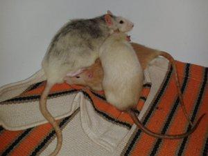 Stress‐Kuschelhaufen – hier machte einer der Albinos später Stress. (Bild: Nienor)
