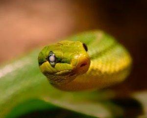 Die eingetrübten Augen sind ein Zeichen, dass die Schlange sich bald häutet.   Foto: Sponicha/pixabay