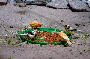 Bodenfütterung bei Kanarienvögeln (Bild: Nienor)