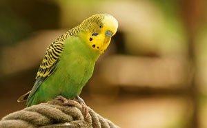Neuzugänge sollten erstmal getrennt von den anderen Vögeln gehalten und einem Tierarzt vorgestellt werden.   Foto: Barni1 /pixabay