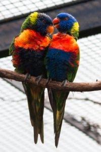Vögel brauchen mindestens einen Artgenossen um sich. (Bild: Nienor)