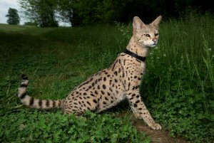 F1SavannahCat.jpg