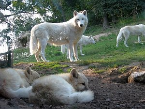 Wolf_Pack_by_Wolf_Bold.jpg