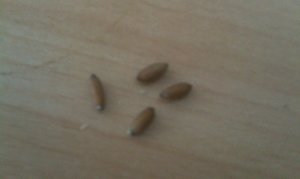 Würmer braune Wiesenwürmer und