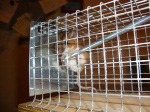 Wilde Maus Gefangen Erfiert Sie Wenn Ausgesetzt