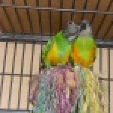 Papagei Abrausen