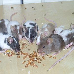 7 von 11 am naschen ..  dona & zorro kamen hochschwanger zu mir und haben diese süssen babys zur welt gebracht ..