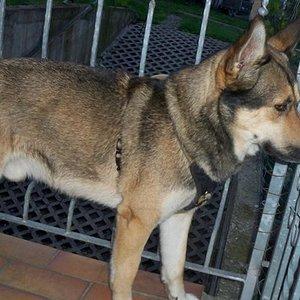 Balu : Der Schäferhund-Husky Mischlingsrüde Balu ist am 12.10.2009 geboren , kastriert , geimpft und gechipt. Er ist ein lieber , anhänglicher und verschmuster Rüde. Balu liebt alle Hunde und ist noch sehr verspielt.